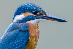 Martinho pescatore euro-asiático (atthis do Alcedo) Fotografia de Stock Royalty Free
