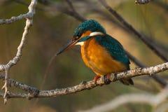 Martinho pescatore na árvore foto de stock