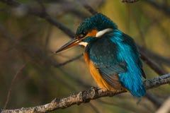 Martinho pescatore na árvore imagem de stock
