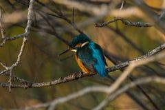 Martinho pescatore na árvore fotografia de stock royalty free
