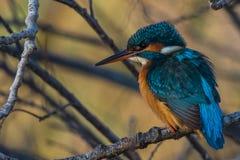 Martinho pescatore na árvore fotos de stock