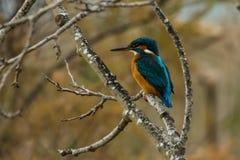 Martinho pescatore na árvore fotos de stock royalty free