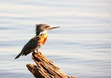 Martinho pescatore Pied (rudis do Ceryle) Imagem de Stock Royalty Free