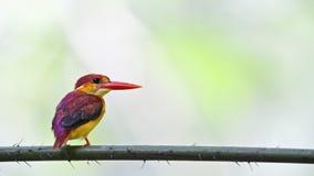 martinho pescatore Rufous-suportado - perfil traseiro do juvenil fotografia de stock royalty free