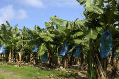 Martinique, banana plantation Royalty Free Stock Image