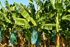 Martinique, banana plantation in Le Vauclin in West Indies Royalty Free Stock Image