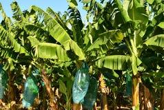 Martinique banankoloni i Le Vauclin i västra Indies royaltyfri bild