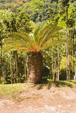 Martinique garden. Palm tree in the Jardin de Balata on Martinique Stock Photography
