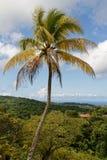Martinique - Kokosnotenpalm in riviere-Salee royalty-vrije stock foto's