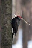 Martius de Dryocopus, pivert noir photos libres de droits