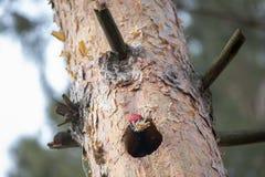 Martius noir de Dryocopus de pivert coupant la cavité dans des copeaux de pin et de jets Le grand oiseau européen montre le behav Photographie stock