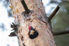 Martius noir de Dryocopus de pivert coupant la cavité dans des copeaux de pin et de jets Le grand oiseau européen montre le behav Photographie stock libre de droits