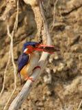 Martín pescador de la malaquita Foto de archivo
