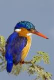 Martín pescador de la malaquita Imagen de archivo