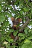 Martre de pin européen Photos stock