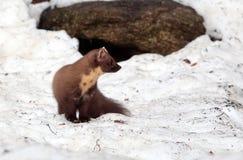 Martre sur la neige photos stock