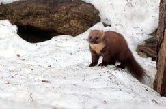 Martre sur la neige photographie stock