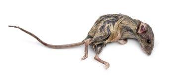 martwa mysz Obrazy Royalty Free
