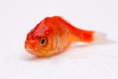 martwe rybki Zdjęcia Royalty Free