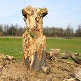 martwy drewna Zdjęcie Royalty Free