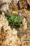 martwy drewna Zdjęcia Stock