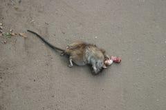 martwy szczur Zdjęcia Stock