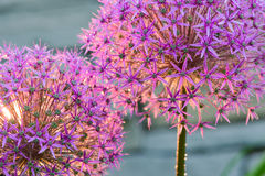 Free Martyn Or Blood Lily Bulb Stock Images - 41851614