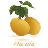 Marula fruit.  Vector. Stock Photography
