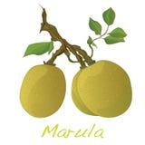 Marula fruit.  Vector. Royalty Free Stock Photo
