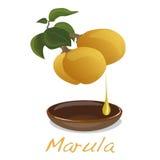 Marula fruit.  Vector. Stock Photos
