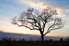Marula tree Stock Images