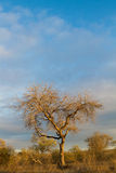 Marula tree Stock Image
