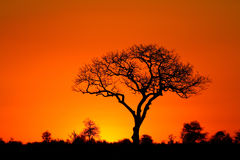 Marula tree sunset Stock Photo