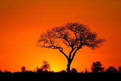 Marula tree sunset. A marula tree silhouette at sunset Stock Photo