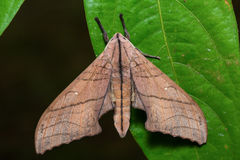 Marumba hawk moth on green leaf Stock Images