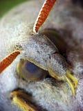 Marumba Quercus. The close-up portrait of Marumba Quercus Stock Photos