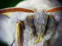 Marumba quercus (Sphingidae) Royalty Free Stock Image