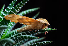Marumba quercus (Sphingidae) Stock Image