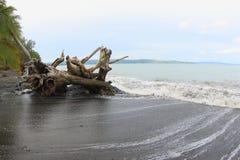 Maruni Beach, Manokwari. Big trunk drifted onto the black sand beach in Manokwari, West Papua, Indonesia Royalty Free Stock Photo