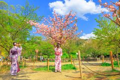 Maruyama Park cherry blossom. Kyoto, Japan - April 24, 2017: young Japanese women in kimono take picture of cherry blossom tree at Maruyama Park, the Kyoto`s Royalty Free Stock Photos