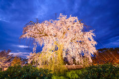 Maruyama Park in Kyoto. Japan during the spring cherry blossom festival Royalty Free Stock Photography