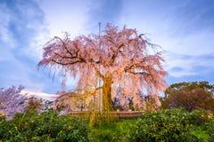 Maruyama park w wiośnie Obrazy Royalty Free