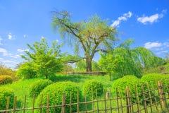 Maruyama parkerar det körsbärsröda trädet Arkivfoto