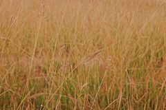 Marvel grass or Hindi grass, commonly used as a forage for livestock. Weed in upland agriculture Royalty Free Stock Photos