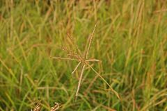 Marvel grass or Hindi grass, commonly used as a forage for livestock. Weed in upland agriculture Royalty Free Stock Images