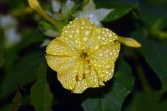 Marvel of Peru four o`clock flower Stock Photography