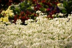 Marvel White Primula Flowers Stock Image