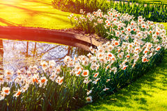 Marvellous flowers in the Keukenhof gardens in glowing morning l stock images