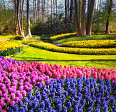 Marvellous hyacinth flowers in the Keukenhof gardens. Beautiful outdoor scenery in Netherlands, Europe Royalty Free Stock Images
