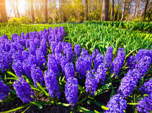 Marvellous hyacinth flowers in the Keukenhof park. Royalty Free Stock Photo
